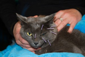 feline_acupuncture