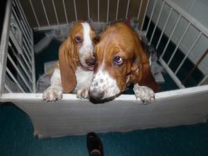 seven Chihuahua pups