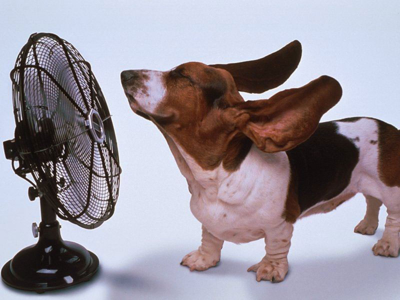 basset-and-fan